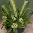 シキミアの花にストライプのニュウサイランを添えて 4月初旬
