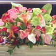 ホクレア号が横浜にやってくる(ヨコハマ・シーサイド・フェスティバル)講演会壇上の花 ハワイのアンセリウムを使って 6月中旬