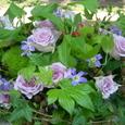 開店祝い  バラと木いちご、ブラックベリーのアレンジ 7月中旬
