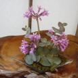 ツルバキアを屋久杉のお皿に飾って 3月中旬