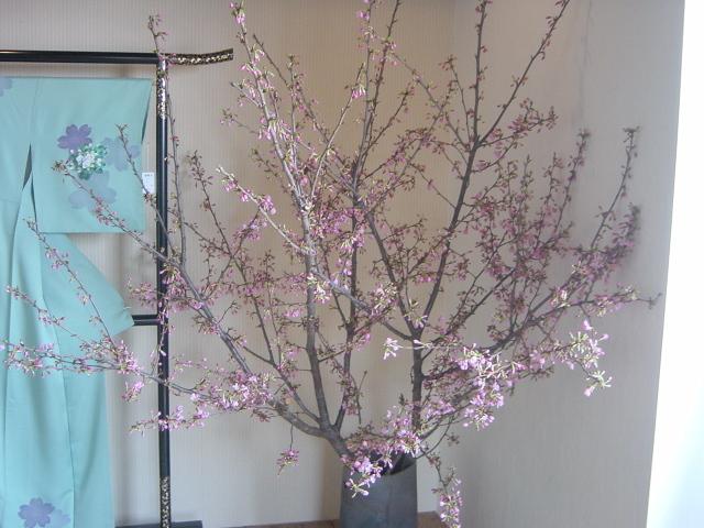 桜(雅) 3月下旬