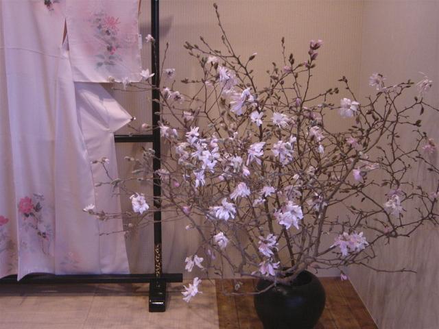 姫コブシ 3月中旬