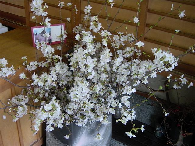 京都の和菓子店「柏庵」に桜(満天星)を飾って 4月初旬