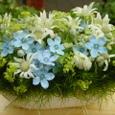 個展のお祝い花(ブルースターとフランネルフラワーなど) 5月下旬