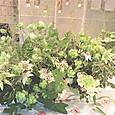 フランネルフラワー、バラ(エクレール)、スモークグラスなど 5月下旬