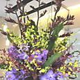 ニューサイランの花、バンダ、オンシジューム、モカラなど 6月下旬