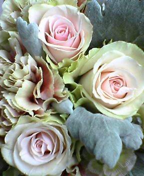 ピンクのバラにシロタエギク